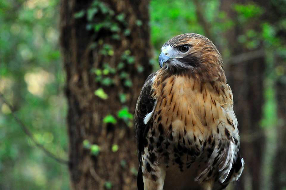 Red-tailed Hawk at the Tallahassee Museum