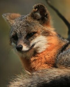 Feeling quite foxy this Monday 😉 Visit the Tallahassee Museum this week and say hello to our beautiful Gray Foxes!  #TallahasseeMuseum #TallahasseeFl #iHeartTally #ExploreFL #LoveFL #Museum #LiveMuseum #FamilyVacation #FamilyFun #GrayFox