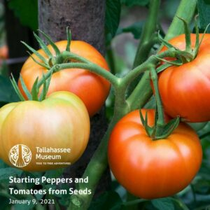 Have you ever wondered how and when to grow your peppers and tomatoes from seed? Join Master Gardener, Judith Stricklin, as she teaches the techniques of planting! 🍅  Learn more and register here: https://tallahasseemuseum.org/events/starting-peppers-and-tomatoes-from-seeds/  #TallahasseeMuseum #TallahasseeFl #iHeartTally #ExploreFL #LoveFL #Museum #LiveMuseum #Gardening #Planting