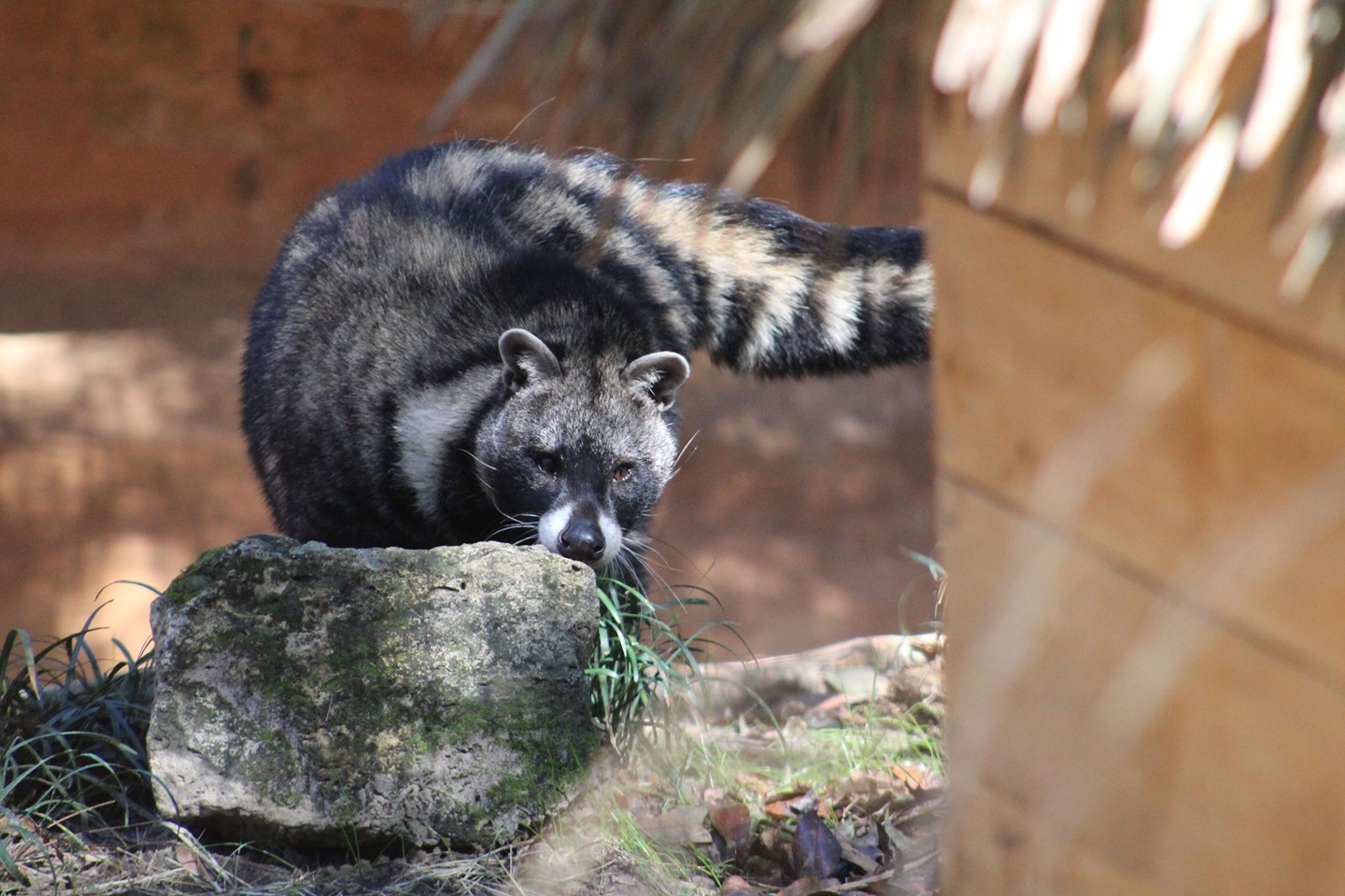 Have you ever seen an African Civet in person? No? Well, don't worry, we can change that! Stop by the…